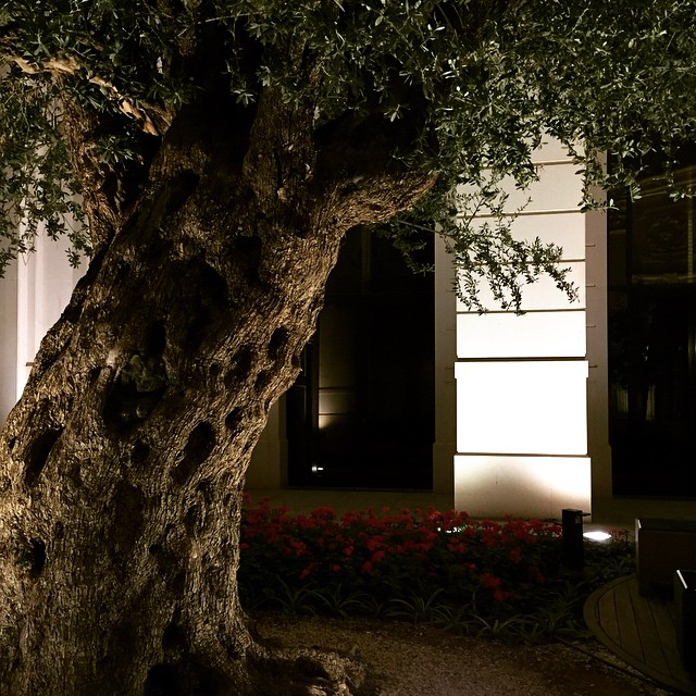 And the 600-year-old olive tree at the Ritz. Another marvel on its own. #theritzcarlton #riyadhksa #thepinktarha ?